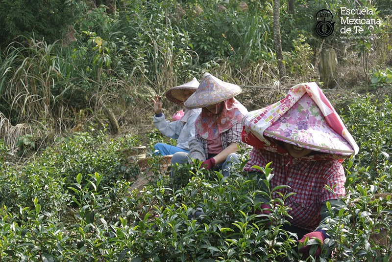Escuela Mexicana de Té en Taiwán