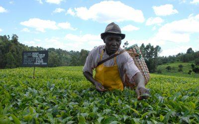 África y sus tés