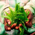 India… ¡Y sus otras regiones de té!