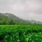 Longjing… Entre los grandes tés verdes de China